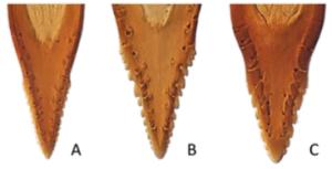 Aculei. Anastrepha fraterculus (A), Anastrepha obliqua (B), and Anastrepha sororcula (C).