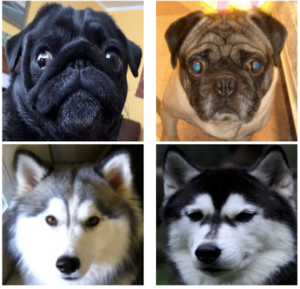 We acquired 374 photos licensed under Creative Commons from Flickr, representing 2 breeds (pugs and huskies), 21 individuals per breed, and at least 5 photos per individual. The choice of breeds intended to reflect a difficult case (pugs) and an easy one (huskies).